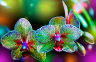 Sri-Lanka-Orchid